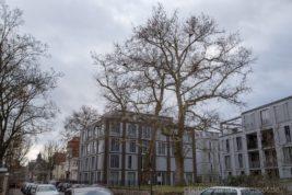 Stadtbäume im Winter