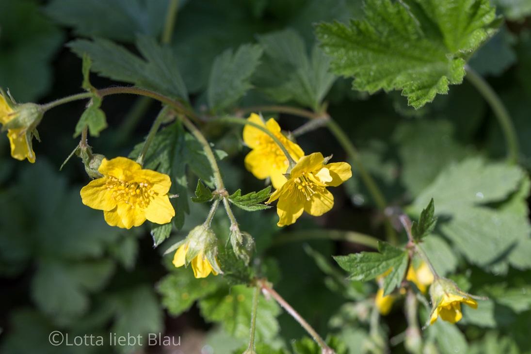 Freitagsblümchen aus dem wilden Garten