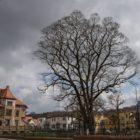 Baum in Grimma